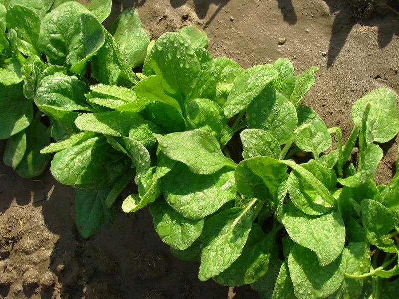 Что посадить на освободившиеся грядки в конце лета для 100 % получения урожая — 7 отличных вариантов