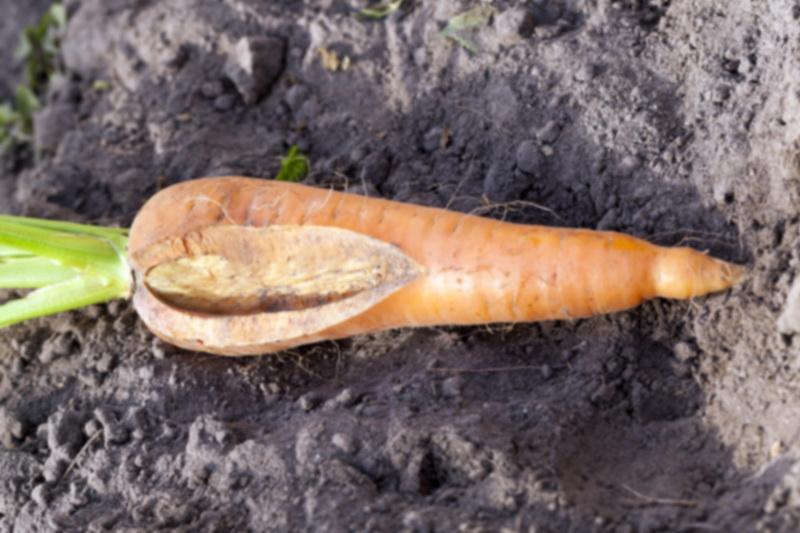 «Рога», трещины, зеленый цвет: из-за чего морковь вырастает уродливой и как этого избежать