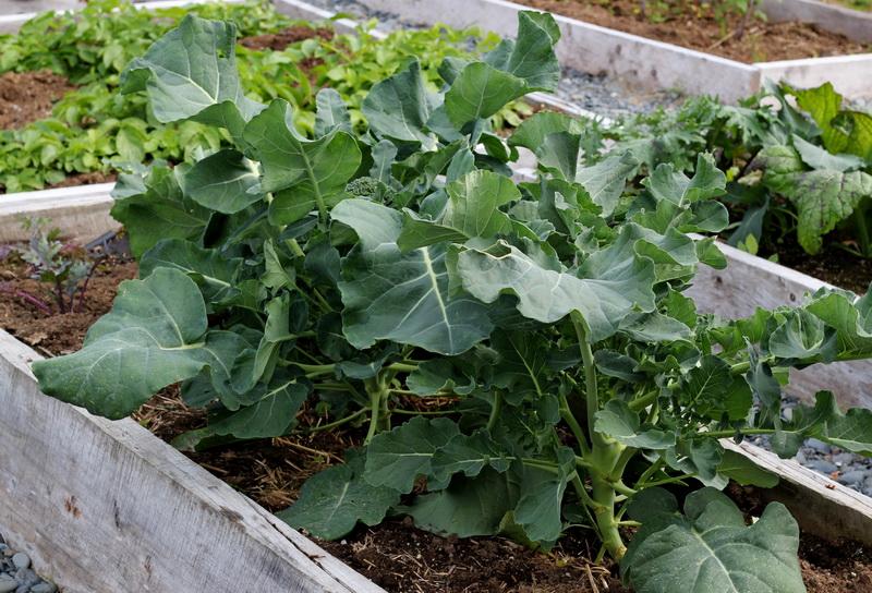 Основы и нюансы выращивания брокколи в умеренном климате