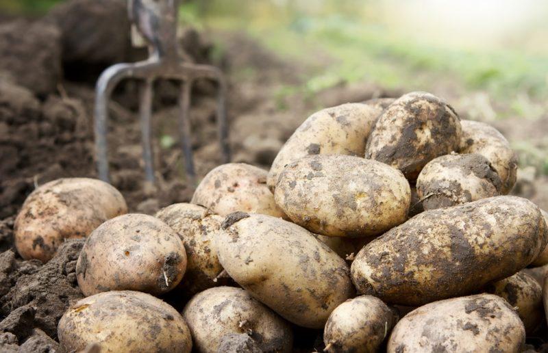 Устойчивые к колорадскому жуку картофельные сорта — действительно ли существует такой картофель