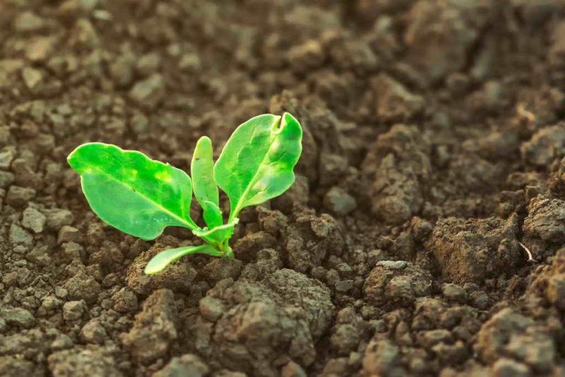 Посев свеклы весной — возможные ошибки
