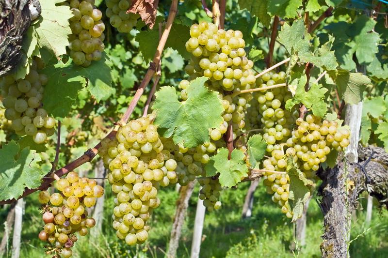 Как сделать шпалеры под виноград