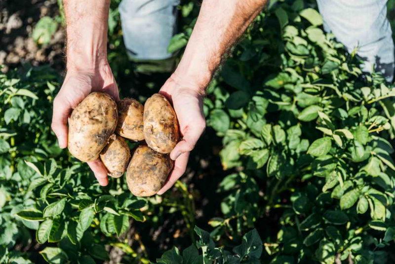 Как определить время выкапывания картофеля
