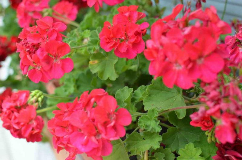 Роскошный сад и никаких хлопот. 8 самых неприхотливых декоративных культур для дачного цветника