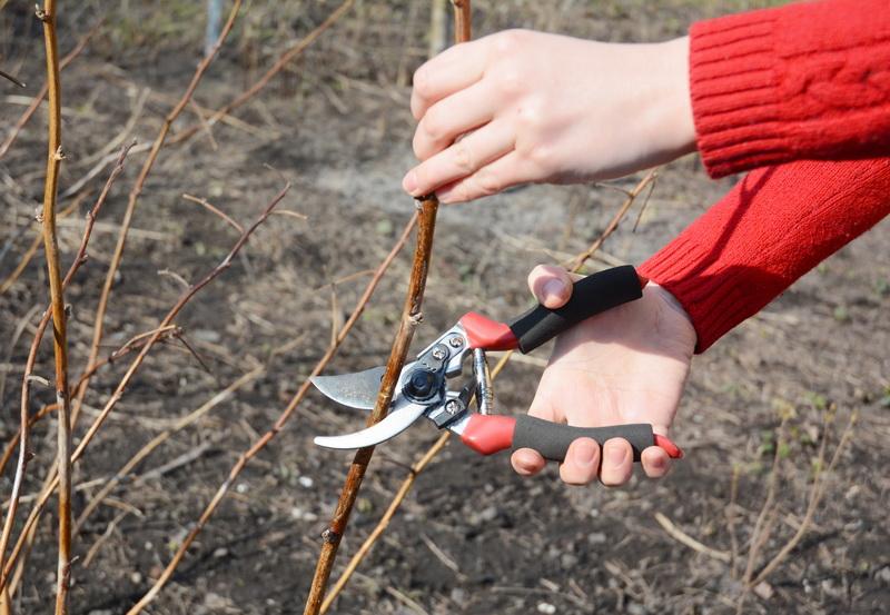 Как правильно обрезать малину для большего урожая