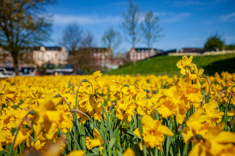 Тюльпаны ранних сортов — лучшее украшение весеннего сада