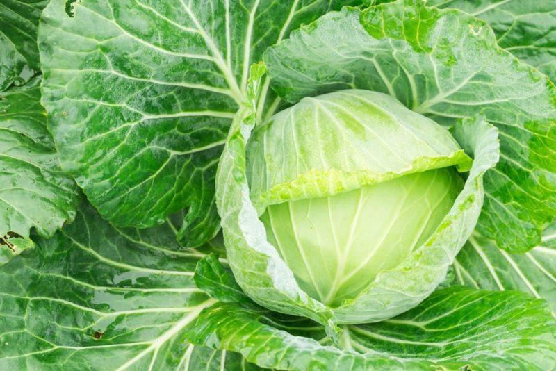 Угостите дедушку Мороза. 8 сортов капусты, приспособленных к зимнему хранению