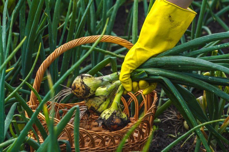 Лук и чеснок подкорми — урожай получи!