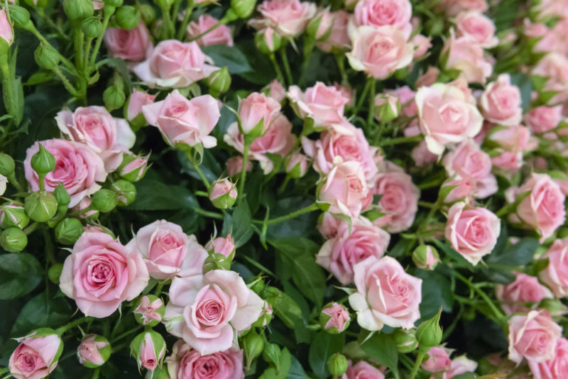 4 популярных сорта плетистых роз для выращивания в Сибири
