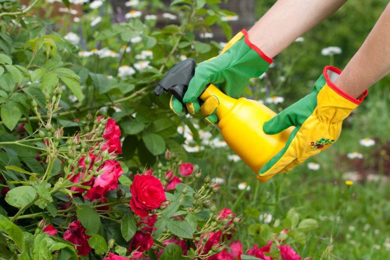 Почему чернеют разные части розы