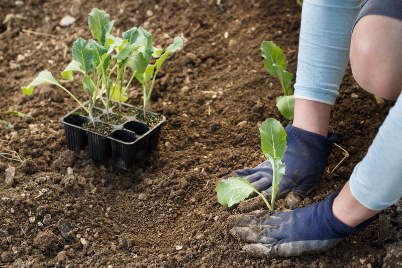 Агротехника культивирования цветной капусты от посева до периода сбора урожая