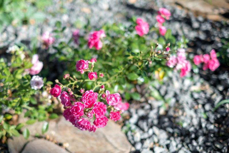Почвопокровные розы: как правильно посадить, чтобы цветение было пышным