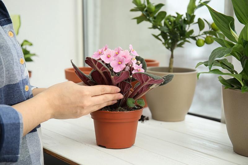 Удобрения для пышного цветения фиалок