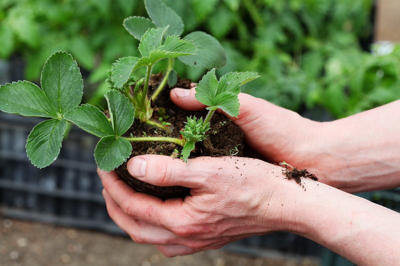 Яркий вкус осенней клубники — как правильно посадить кустики в конце сезона