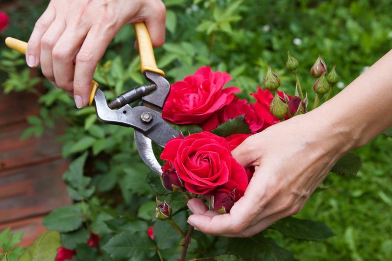 Уход за розами весной: основные правила весенней обработки