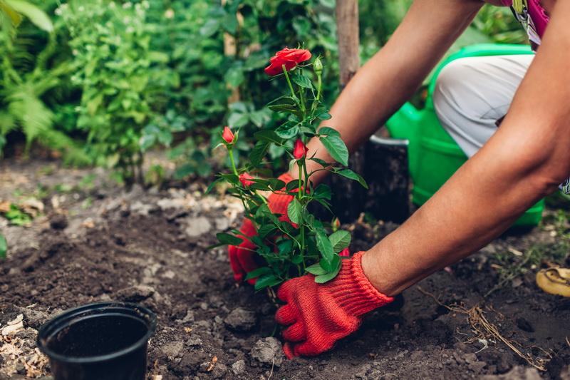 Какие розы посадить на небольшом участке