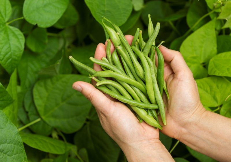 Фасоль — лучшее время для уборки урожая