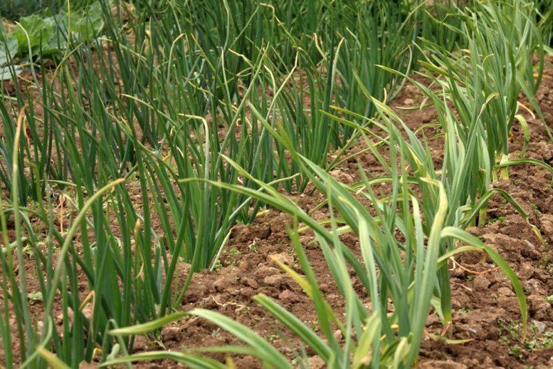 Как правильно выращивать лук на семена