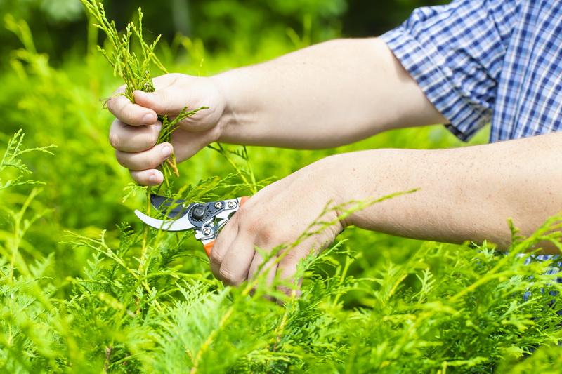 Как правильно провести обрезку хвойных растений