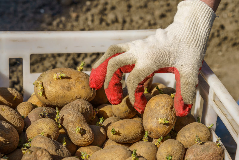 Как правильно подготовить картофельные клубни перед посадкой — основные важные приемы