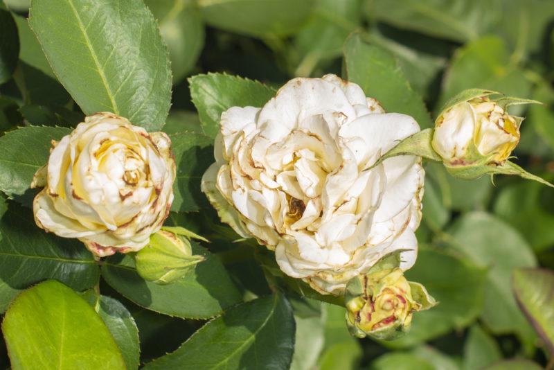 Почему роза начинает перерождаться в шиповник и можно ли это исправить