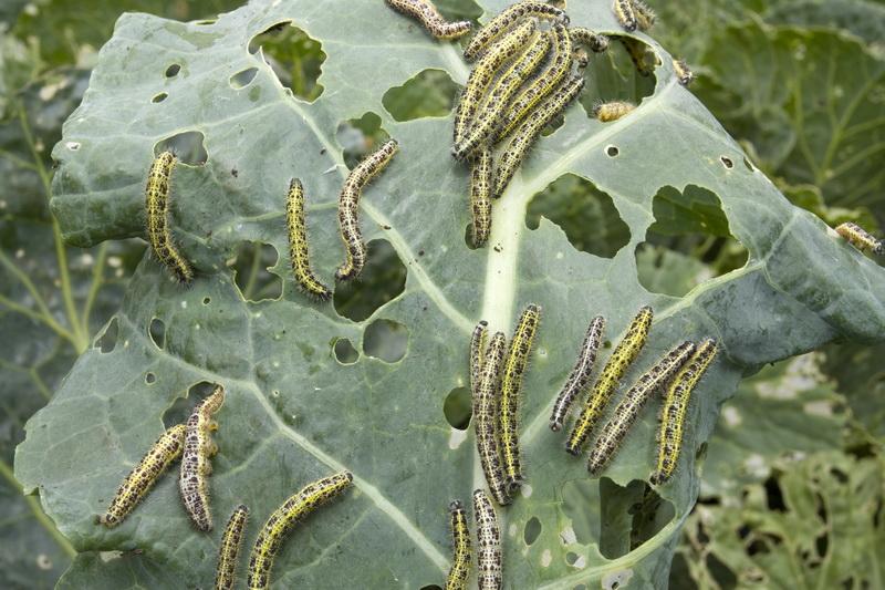 Экологичная борьба с вредителями и болезнями капусты