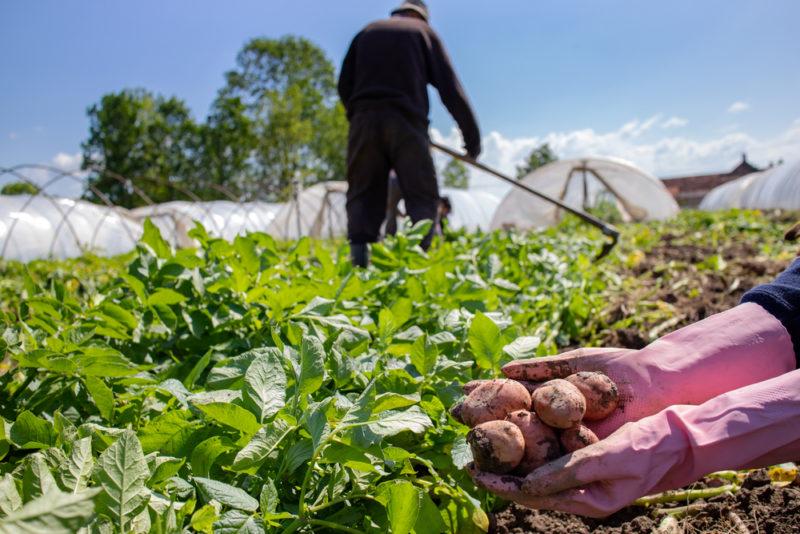 Метод Квартальновой для картофеля: как собрать ведро картошки с метра грядки
