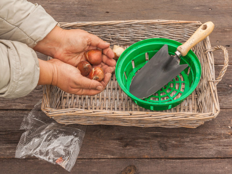 Осенняя посадка лука — секреты отличного урожая