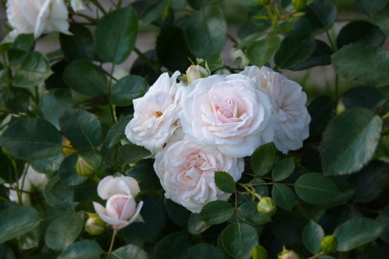 Несколько советов, как можно сохранить черенки роз до весеннего периода