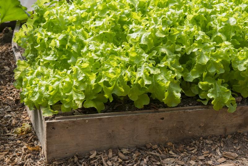 Как правильно сеять семена салата — способы посадки