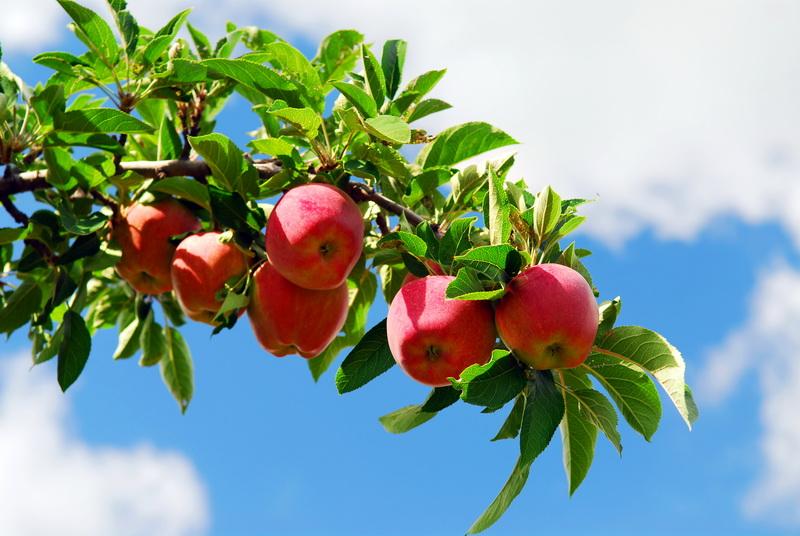 Основные правила ухода за колонновидной яблоней
