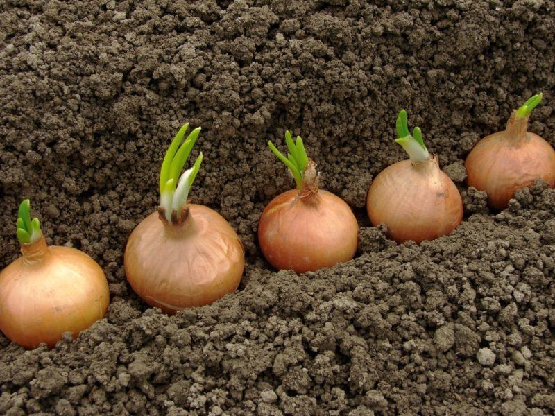 Культивирование репчатого лука на семена