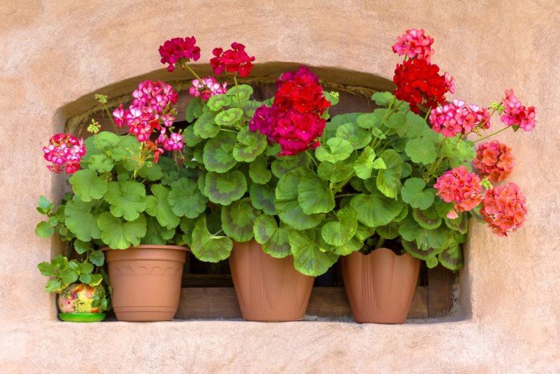 Желтеют листья у герани: в чем причина и как спасти цветок