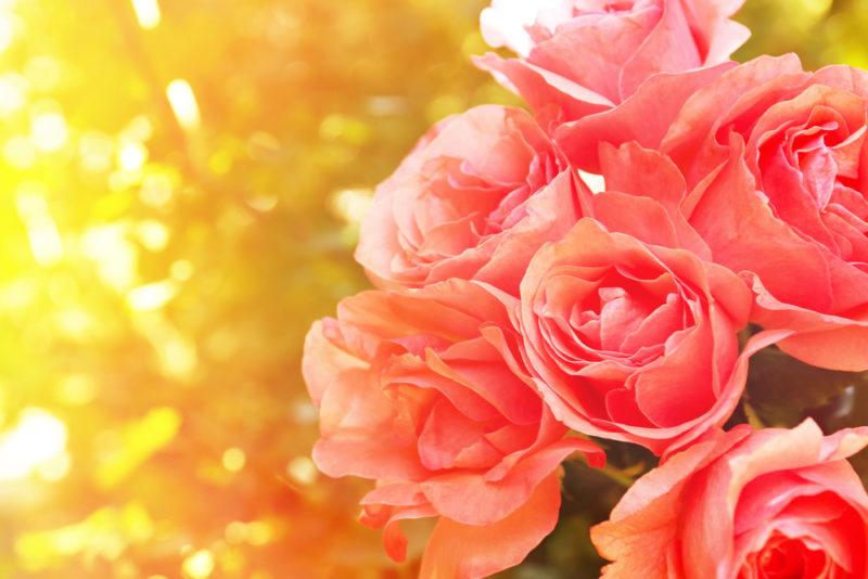 8 частых проблем, возникающих при выращивании роз