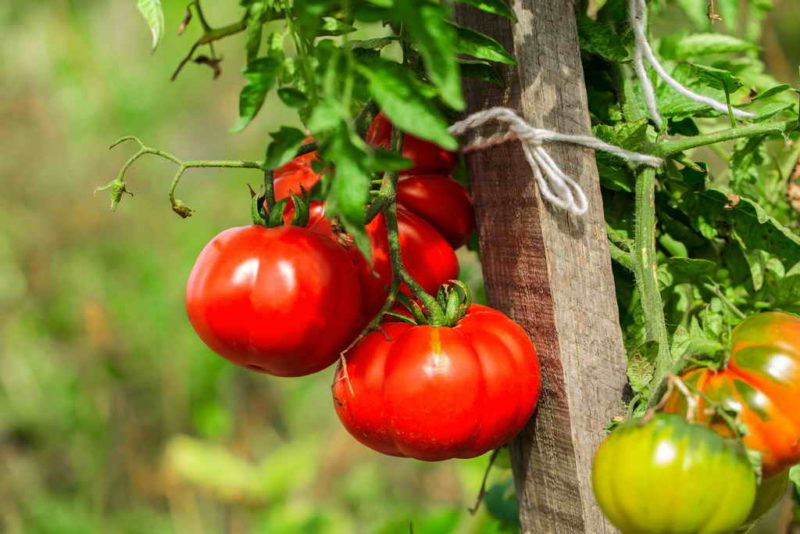 Сорт Батяня — высокоурожайный сорт для настоящих гурманов