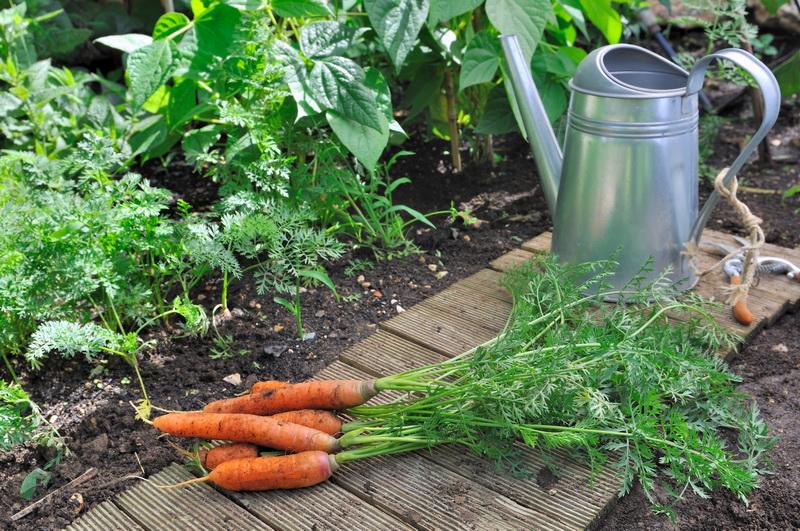 Морковь в песчаном грунте — на что обратить внимание при выращивании