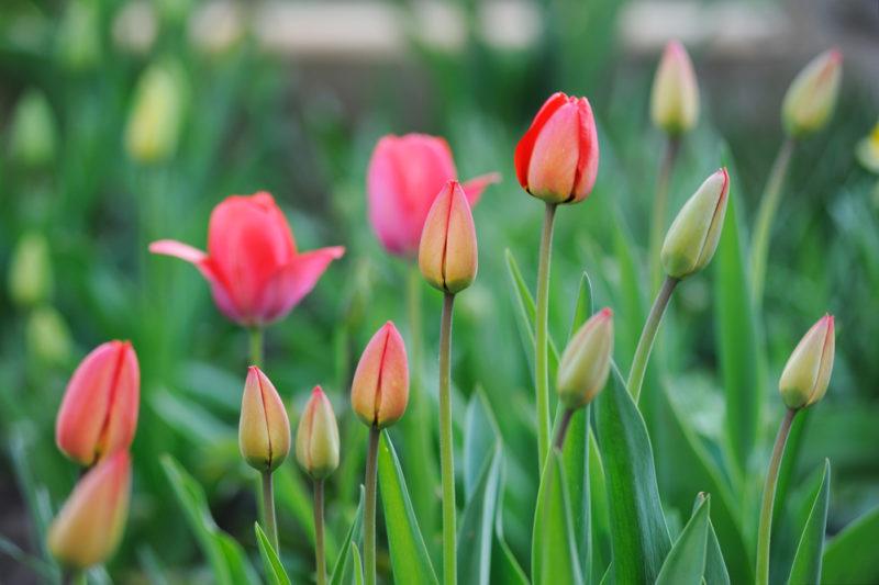 Как выращивать тюльпаны? 4 простых правила