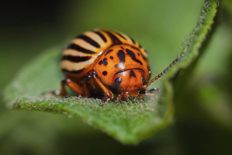Борьба с колорадским жуком — 10 результативных народных средств