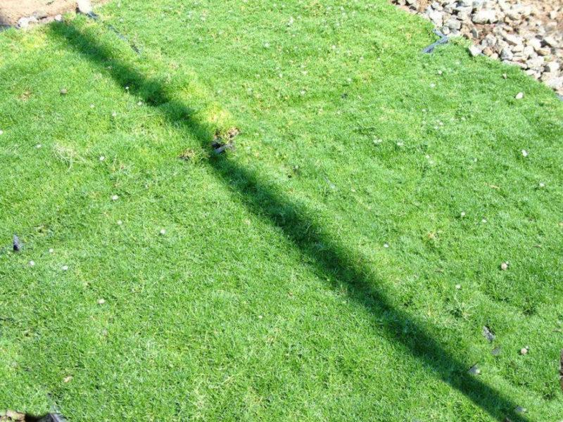 Ирландский мох для красивого газона — рассматриваем про газонное покрытие мшанкой