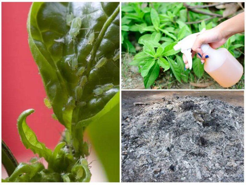 Как табачная пыль поможет избавиться от вредителей