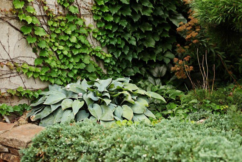 Хоста — лучшее дизайнерское решение для сада