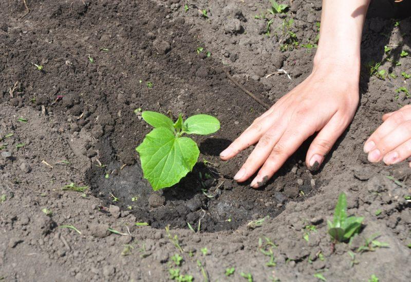 Поверхность почвы под рассадой покрылась коркой — срочно примите меры