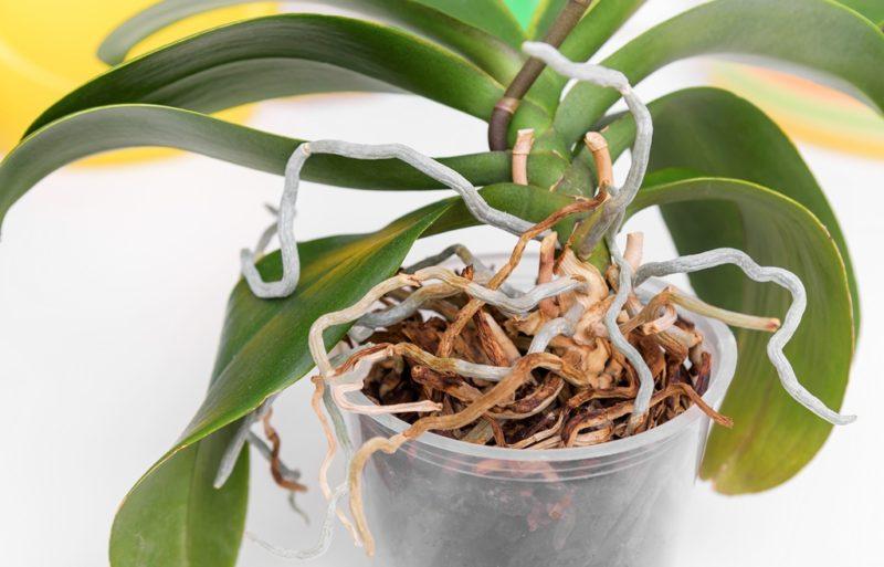 Проблемы корневой системы орхидеи: почему корни высыхают и растут поверх горшка? Как реанимировать цветок?