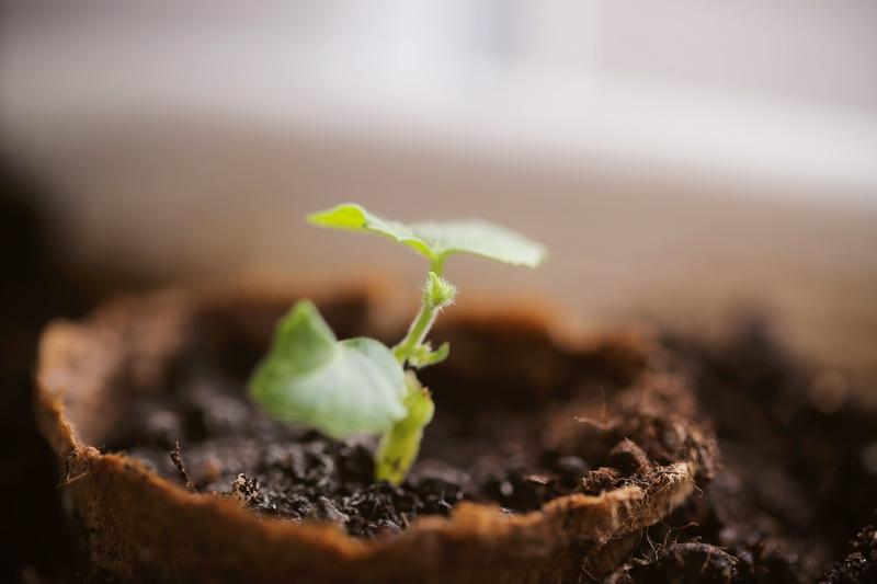Огурцы на подоконнике — особенности выращивания