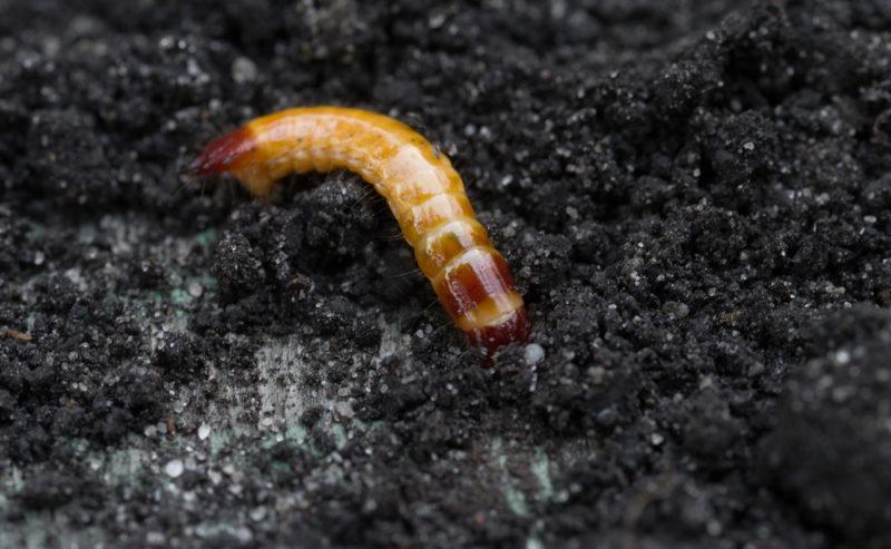5 вредителей картофеля — кто портит и уничтожает урожай и как с ними бороться
