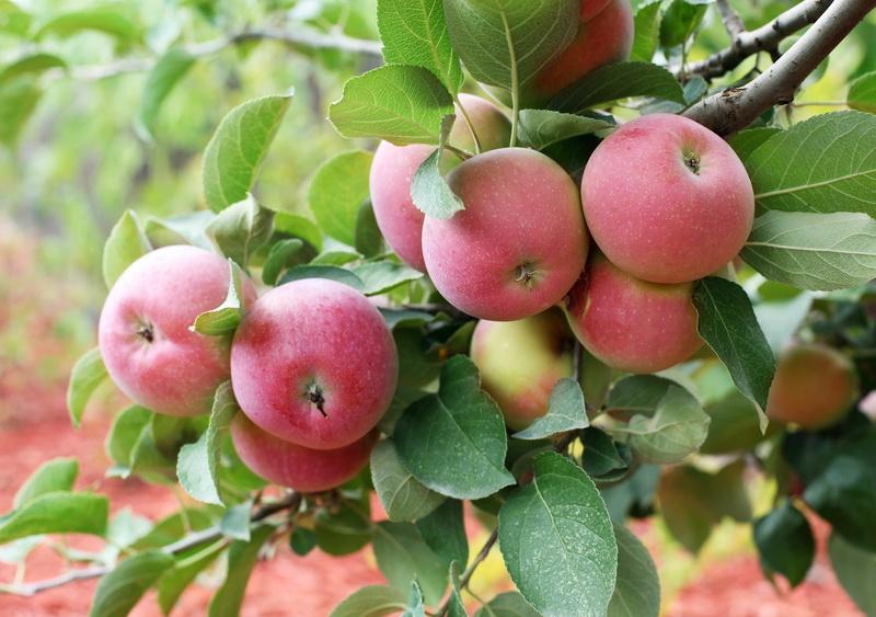 Правила посадки и ухода за колонновидными яблонями
