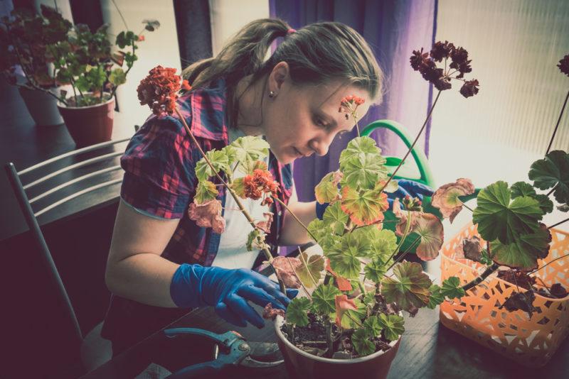 Как избежать пожелтения листьев герани и как с этим бороться