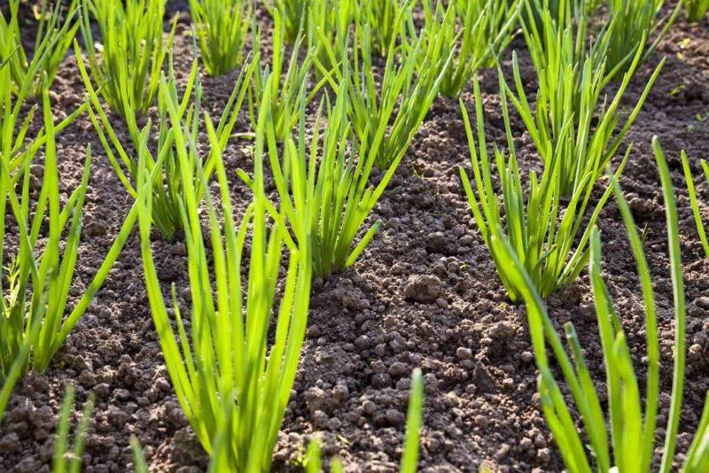 Китайская техника выращивания лука — гарантия высокого урожая