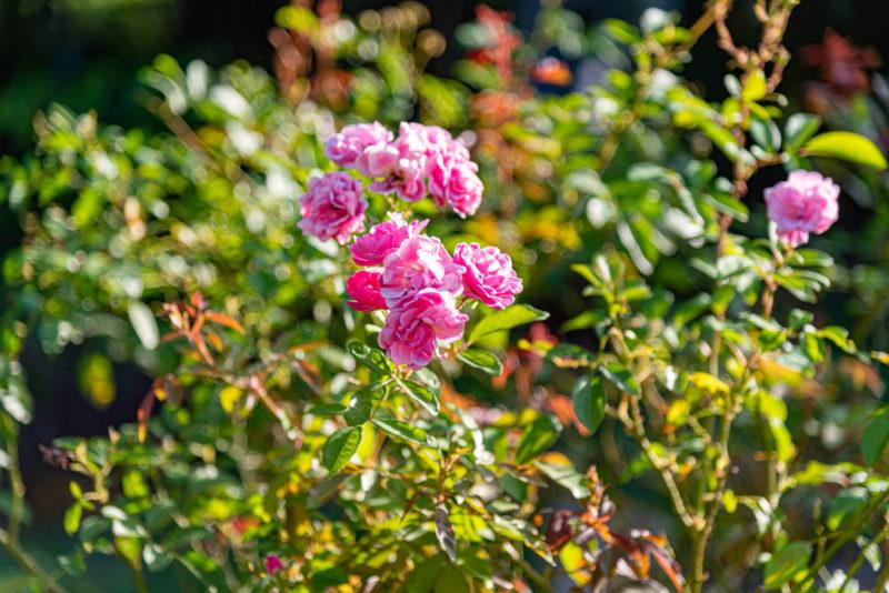 7 листков — не приговор, или Как отличить розу от шиповника