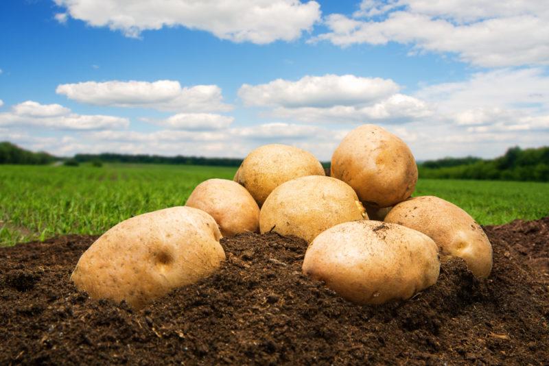 Фитофтороз на картофеле: способы борьбы с ним и меры профилактики его появления